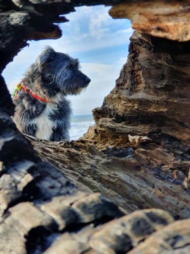 Lily - 10 year old Bearded Collie